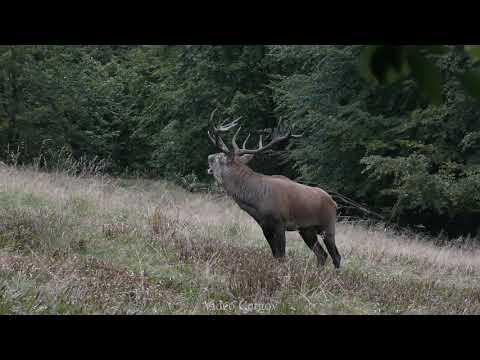 Dozvuky jelení říje - Video Čergov