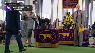 Manchester Terrier (Standard) | Breed Judging (2019)