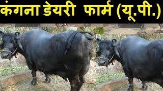 Murraha Super Quality buffalo live milking dairy farm in India
