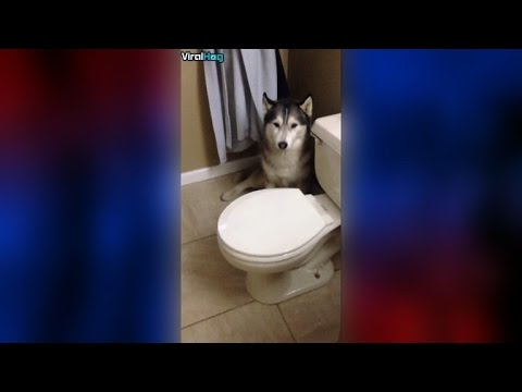 A Husky Throws a Tantrum About Going in the Shower