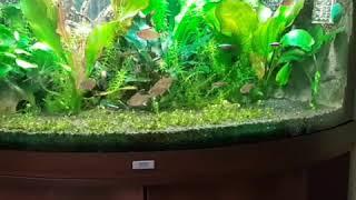 amazonas aquarium mit 40 Salmler  Metal Panzerwelse und  Blaue Antennenwelse