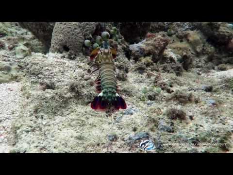 Odontodactylus scyllarus - Mantis shrimp - Mabul 2016