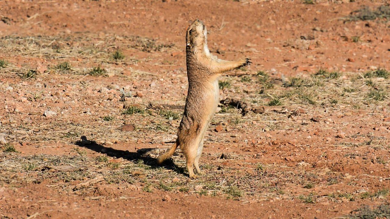 black tailed prairie dog reintroduction youtube