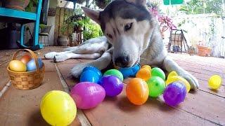 My Husky Easter Egg Hunting!