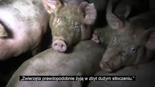 Realia uboju świń - śledztwo we francuskiej ubojni