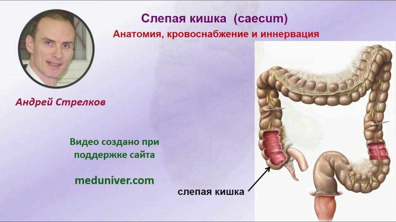 Анатомия слепой кишки, кровоснабжение и иннервация - meduniver.com