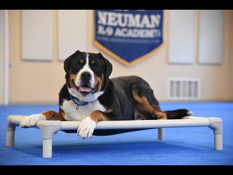Bernie (Greater Swiss Mountain Dog) Boot Camp Dog Training Video Demonstration