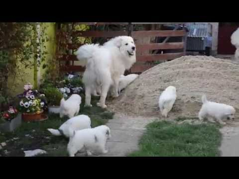 Rodentáli kennel - Pyrenean mountain dog puppy's