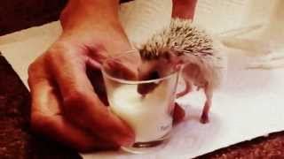 Baby Hedgehog Drinks From Shotglass!
