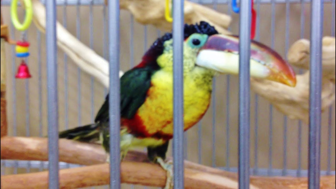 CURL CRESTED ARACARI TOUCAN   YouTube CURL CRESTED ARACARI TOUCAN