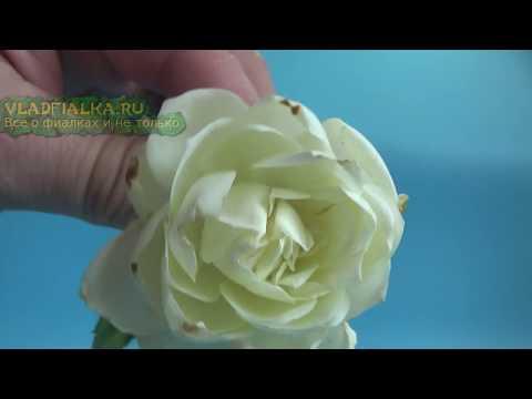 видео: Как сделать черную розу из белой. Эксперимент № 1.