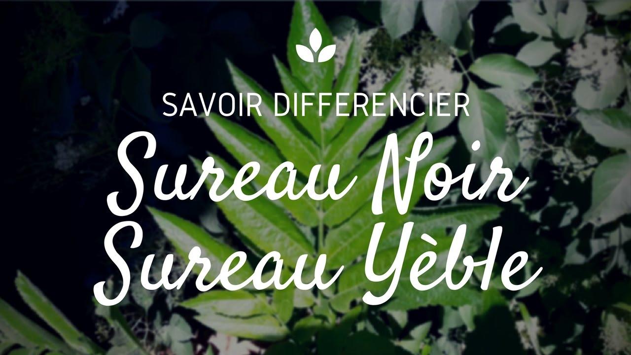Sureau comestible vs sureau toxique c t pour les diff rencier youtube - Laurier comestible comment reconnaitre ...