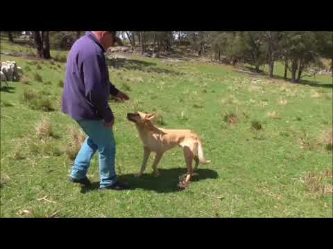 2017 RMA NETWORK WORKING STOCK DOG AUCTION - WHY