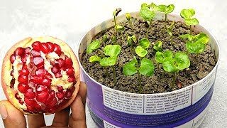 How to grow pomegranate plants easily , Grow at home
