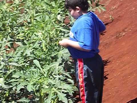 plantação de quiabo - YouTube