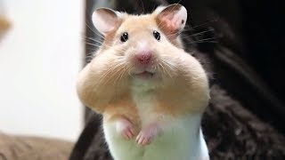 警戒しているハムスターの顔が可愛すぎる!おもしろ可愛い癒しハムスターThe face of a cautious Funny hamster is too cute!