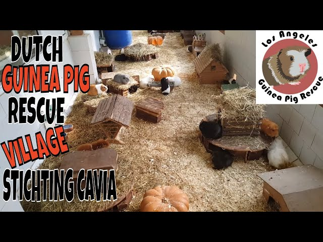 Saskia Visits Stichting Cavia Guinea Pig Village in the