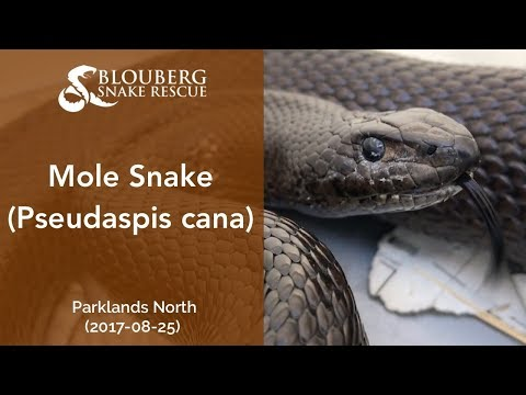 Subadult Mole Snake near Parklands North, Cape Town, South Africa (20170825)