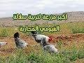 تربية الدجاج (7) اكبر مزرعة لتربية سلالات الفيومي بكل انواعه z-m