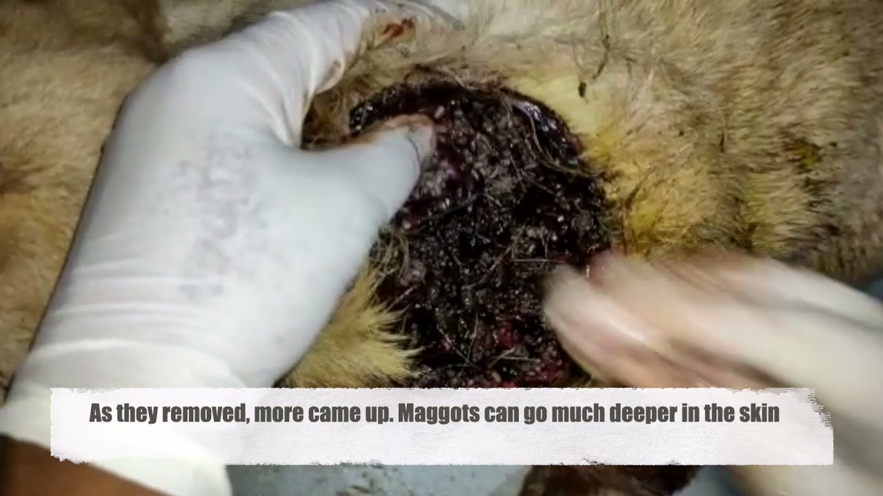 Download Maggots Eat Away At Pups Gaping Neck Wound - rescue story