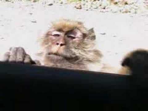 le singe voleur