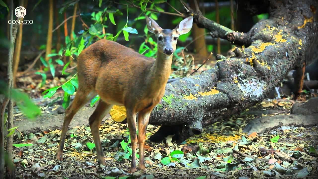 Bosques Templados Biodiversidad Mexicana