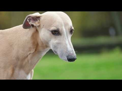 Whippet -- Theory of mind in dogs