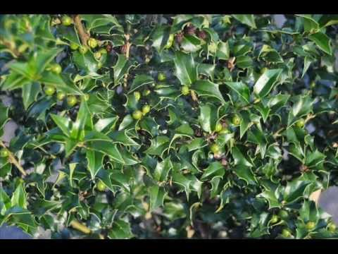 A Red Berry Holly The Dragon Lady Holly Tree Youtube