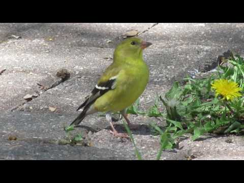 American Goldfinch call / song and feeding. N of Valeport, SK Canada May 20 2017