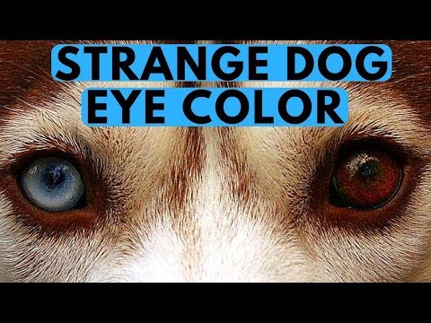 Why is my Dog Barking at me? Strangest Dog Eye Color? - ROCADOG QNA 2
