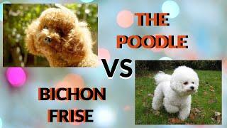 The Poodle vs The Bichon Frise