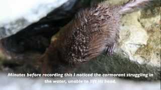 Mink Kills Cormorant (HD)