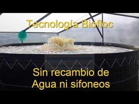 CULTIVO INTENSIVO CON TECNOLOGIA BIOFLOC