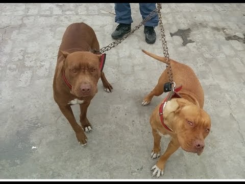 How to Train Dangerous Pitbull Dogs at home 1