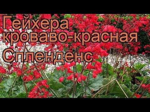 Гейхера кроваво-красная Спленденс 🌿 обзор: как сажать, рассада гейхеры Спленденс