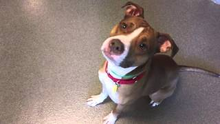 Eddie, A 1-year-old American Pit Bull Terrier/mix