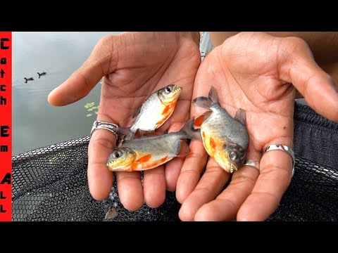 WHY I RELEASED Baby PET PIRANHAS **into South Florida Pond I Originally Caught Pacu From**
