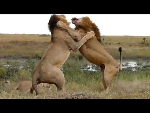 Lion Fight - Part II
