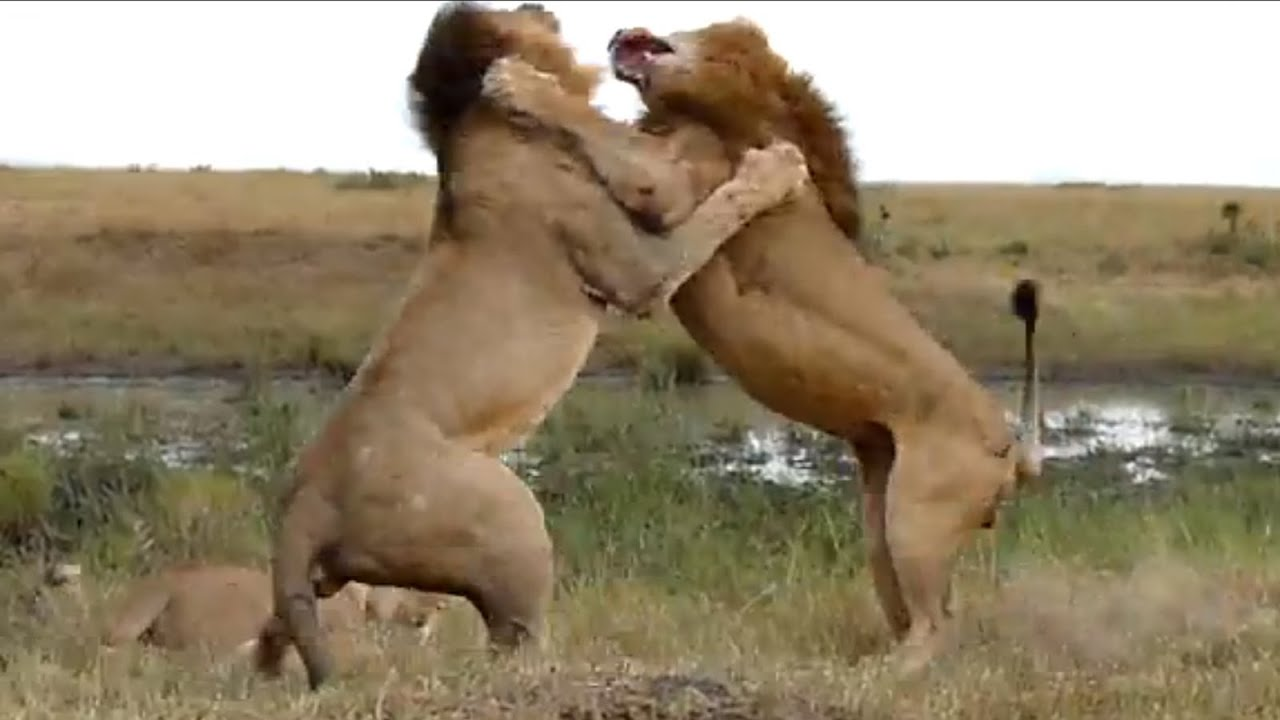 Lion Fight Part Ii Youtube