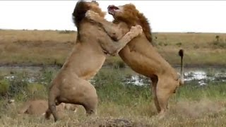 Unique video of two male lions fighting in Masai Mara, Kenya over a...