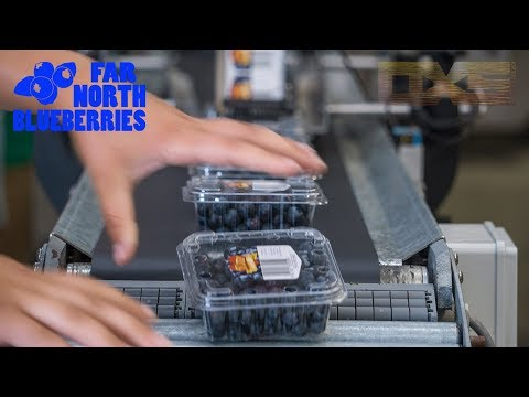 The Best Blueberries in New Zealand - Far North Blueberries