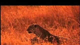 Im Königreich der Raubkatzen - Cats of Prey - The Leopard Son