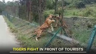 Tigers Fight In Front Of Tourists At Bannerghatta National Park
