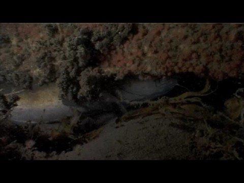North Sea clip - Fish: Small-spotted Catshark, Atlantic Cod, Bull Rout, Common goby, Atlantic horse mackerel