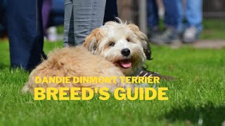 Dandie Dinmont Terrier Dog Breed Information