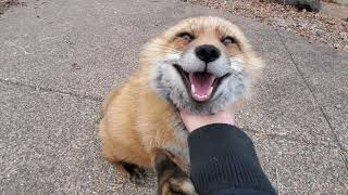 Finnegan Fox chats while being scratched