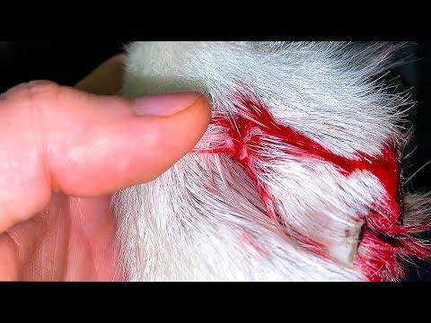 Вопрос: Как выходить собаку, которая падает на лапы от голода и ей раздуло живот?