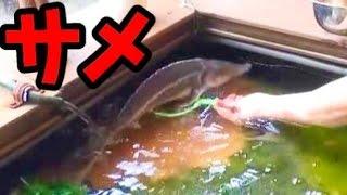 【サメすくい】金魚釣りと金魚すくい SharkFishing thumbnail