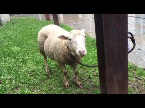 Una oveja en el casco viejo 13 12 19