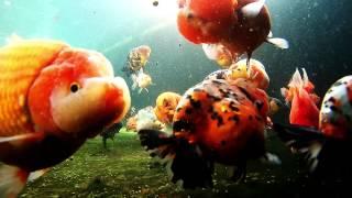 Limas Farm Goldfish Paludarium